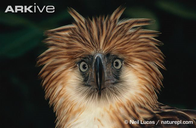 Philippine Eagle staring at the camera