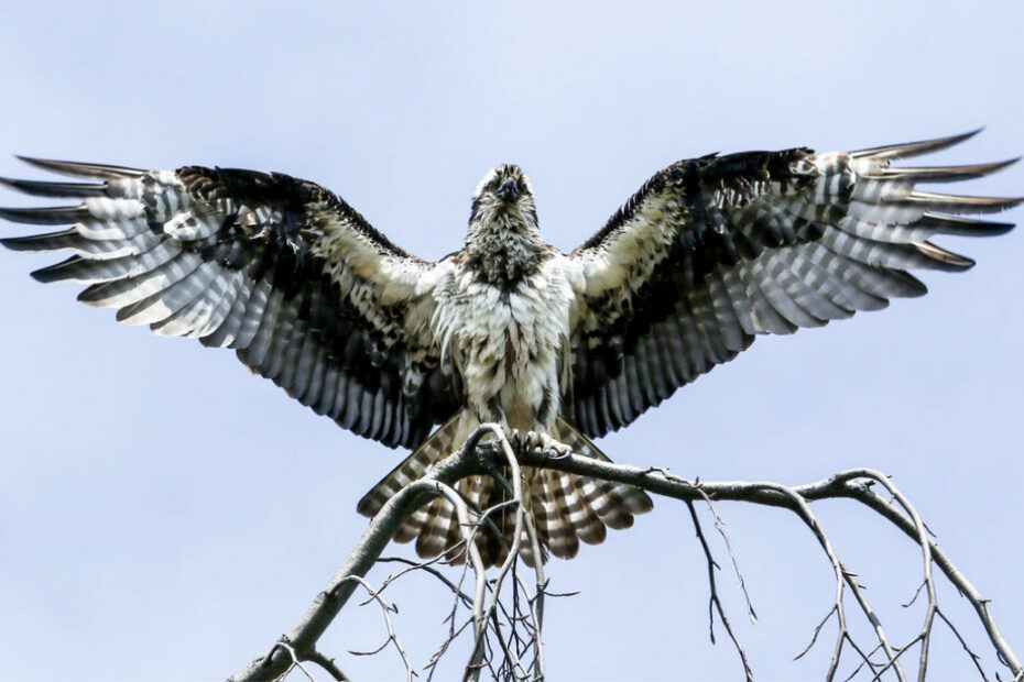 Osprey drying its wings
