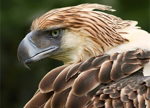 Close head shot, looking left, of a Philippine Eagle