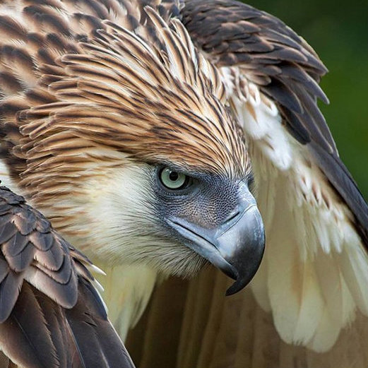 Philippine Eagle hunched for takeoff